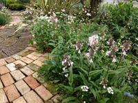 ペンステモンと庭のあちこち - natural garden~ shueの庭いじりと日々の覚書き