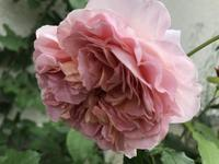 庭のお花2020 - 小さな花アトリエ
