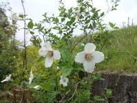 梅花空木 - だんご虫の花