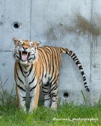 アムールトラ虎二郎(♂) - Animal_photographys's Blog