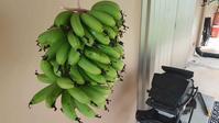 非効率なバナナ栽培の結末 - 寅ママのグアム生活(4人と3匹)-てげてげにグアム生活ー