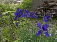 コロナ禍の中でもバラが咲き始めました(No.208) - 薪窯冬青 犬と山暮らし