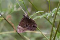 クロヒカゲ・・・林道で今期初 - 続・蝶と自然の物語