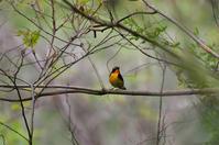 キビタキ・・・初見 - 阪南カワセミ【鳥と自然の物語】
