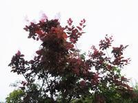 煙の木 - だんご虫の花