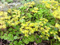 丸葉万年草 - だんご虫の花