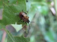 今日もハムシの撮影に - もえび生物観察記