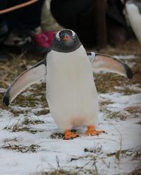 ジェンツーペンギンのお散歩 - 気まぐれZOOⅡ
