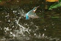 N川のカワセミ、5月下旬。 - 小川の野鳥達