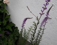 リナリアとオリーブ - わらびの庭づくり。時々猫