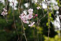松尾大社…名残の桜② - Taro's Photo