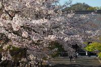 仁和寺…名残の桜③ - Taro's Photo