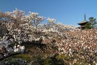 仁和寺のつづき…名残の桜④ - Taro's Photo