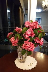 カルミアの花蕾がまるでアポロチョコ - ニッキーののんびり気まま暮らし