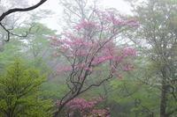 霧の中のアケボノツツジ釈迦ヶ岳 - 峰さんの山あるき