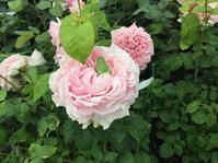 ワンコのいるバラ園 - バラのある幸せな暮らし研究所