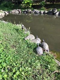 亀の甲羅干し - Mamamayumi26's Blog
