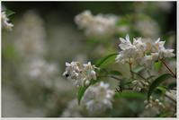 ウツギの花 - ハチミツの海を渡る風の音