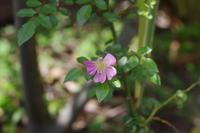 お初の薔薇 - お庭のおと