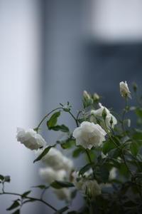 薔薇が泣いている - 花は桜木、