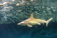 葛西臨海水族園:大洋の航海者 サメ【後編】~アカシュモクザメのひみつ - 続々・動物園ありマス。
