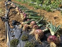 紫タマネギ収穫 - 週末農夫コーディーのイケてる鍬の振るい方