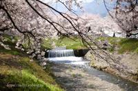 安曇野の桜(5) - Tullyz bis /R-D1ときどきM
