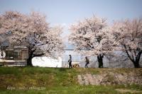 安曇野の桜(7) - Tullyz bis /R-D1ときどきM