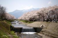 安曇野の桜(8) - Tullyz bis /R-D1ときどきM