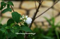 梅花空木(バイカウツギ) - 花と風の薫り