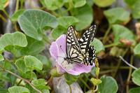 ハマヒルガオにアゲハ - 続・蝶と自然の物語
