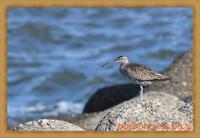 神戸の浜甲子園でシギを鳥×撮り2020.05 - 鳥×撮り+あるふぁ~