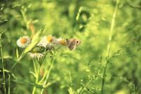 瑠璃渓自然公園:ヒカゲチョウ - 都忘れと忘れな草