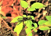 瑠璃渓自然公園:二ホンカワトンボ - 都忘れと忘れな草
