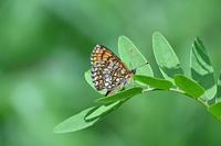 コヒョウモンモドキ神様のプレゼント - 蝶のいる風景blog
