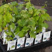 ワイン用のブドウの苗木 - sola og planta ハーバリストの作業小屋