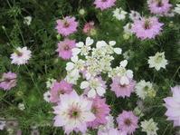 ピンクアイスバーグ咲く - 花の自由旋律