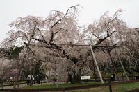 円山公園…名残の桜⑤ - Taro's Photo