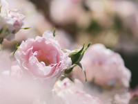 薔薇 2大阪市 - ty4834 四季の写真Ⅱ
