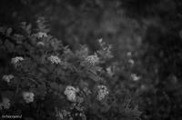 シモツケが咲き始めました - 光の贈りもの