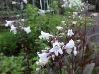 ペンステモン - だんご虫の花