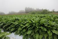 うるい   を植える - ユリ 百合 ゆり 魚沼農場の日々