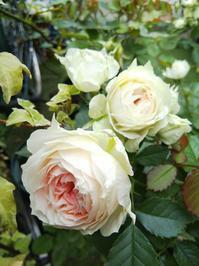 パシュミナとおめでたいコーネリア - 小庭の園芸日記
