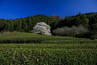 2020桜咲く三重美杉竹原の薄墨桜 - 花景色-K.W.C. PhotoBlog