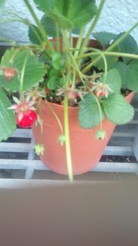 一粒の苺が・・ - 前略  。。。。。 宇三郎拝