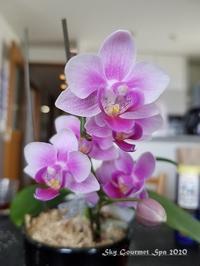 ◆ 胡蝶蘭がまた咲いた日(2020年5月) - 空とグルメと温泉と