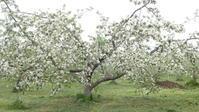 りんごの木 - 面白がり屋
