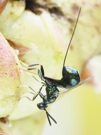 ナラメリンゴフシにかかわる観察(2)オナガコバチ - 自然観察大学ブログ