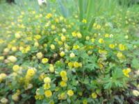 ホップクローバーの一生 - だんご虫の花