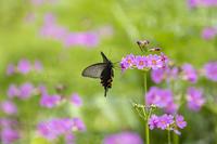 クリンソウを訪れる虫たち - チョウ!お気に入り